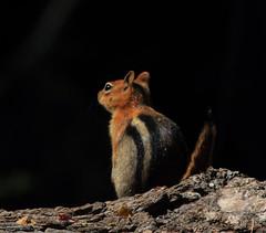 Golden-Mantled Ground Squirrel (Hawkeye2011) Tags: california usa 2016 wildlife mammals animal yosemite goldenmantledgroundsquirrel