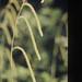 Carex pendula. Wenvoe Wood, July 1988