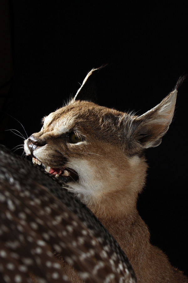 taxidermie jean pierre gerard