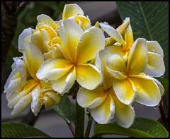 Raindrops fall on the Frangipani Flowers-1=