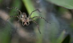 Lawn wolf spider (Hippasa holmerae) (Milan Tump) Tags: milan thailand spider wolf arachnid lawn sukothai arthropod tump hippasa holmerae