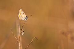 IMG_6995 (adrien.pcctt) Tags: papillon insecte argusbleu