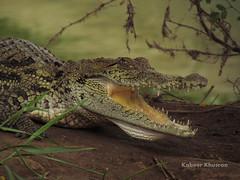 Young Croc (Kabeer Khusroo) Tags: pakistan baby lake canon wildlife aligator crocodile thatta corocodile haleji kabeer khusroo