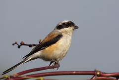 Bay-backed shrike (tareq uddin ahmed) Tags: birds species ahmed bangladesh shrike chittagong uddin tareq lanius vittatus shrikes laniidae baybacked laniusvittatus