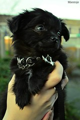 My new Chihuahua friend Tyr (Mientsje) Tags: dog pet pets chihuahua black cute animal animals hair puppy pups long hond chi pup zwart dieren lang tyr haar