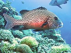 grouper (explore) (DOLCEVITALUX) Tags: fish underwater philippines dive scubadiving batangas scubadive lapulapu grouper