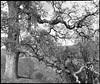 Sierra Madre Road Oak (Summicron20/20) Tags: camera field gold inch os dot 12 rodinal ulf ilford fp4 v10 125 deardorff goerz 10x12 dagor f68