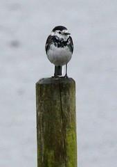 Rain rain go away (Sue Wolfe) Tags: winter nature birds wildlife birdwatching hertfordshire wildfowl rspb rspbryemeads
