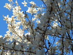 Flowering tree against blue sky (amgirl) Tags: seattle flowers sky tree february23 springlike 2015