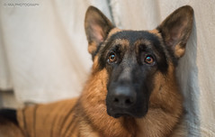 7 de 365...Retrato Perruno! (nashejimenez) Tags: amigos retrato perro ojos cachorro perros animales cachorros pastor mascota mascotas fiel pastoralemán mejoramigo perrosdepastoreo