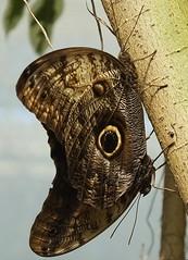 2 Owl Butterflies (Caligo) (elle2028) Tags: england butterfly butterflies wisley caligo
