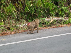 Pigtail Macaque Mother and Child on Side of Road