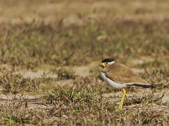 Yellow wattled lapwing (SUNITPICS) Tags: india bird nature field yellow rebel backyard kiss zoom telephoto lapwing kanpur northindia wattled vanellus malabaricus t2i canon55250is canon550d