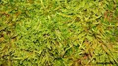 Moss (sarahrein92) Tags: green moss pflanze grn plans makro moos