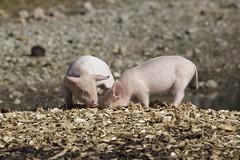 Schwein gehabt! (begumidast) Tags: color nature animals canon eos schweiz switzerland tiere day suisse outdoor natur adventure svizzera soe ef porc schweine ferkel ef70300mm eflens canoneos5dmarkiii begumidast 5dmarkiii ef70300mmf456lisusm musictomyeyeslevel1