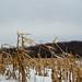 Corn stalks in winter