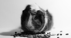 Black and white guinea pig (cpb_photography) Tags: camera blackandwhite bw cute art beautiful animal closeup 35mm canon photography photographer guineapigs dslr socute whiteandblack cutepets canonphotos samyang canon400d canonphotographer instagram