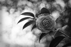 camellia (otarako☺︎) Tags: 椿 乙女椿