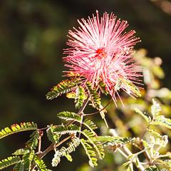 2015 02 23 Tohono Chul Park 015 (GaryS42) Tags: arizona flower tucson tucsonarizona tohonochulpark