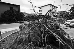 Raffiche di Vento - 05.03.2015 (rodiewhoores) Tags: trees italy broken field alberi italia wind battle tuscany di campo forte vento battaglia pistoia rotti bufera caduti agliana spezzati