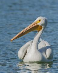 Sunset Park Pond_Henderson (JME_Photos) Tags: nature birds canon wildlife nevada pelican henderson 400mm