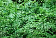 where the green ferns grow (Speed of Light [2]) Tags: england plants fern green nature outdoors flora woodlands nikon britain naturalhistory bracken prehistoric essex scrub eastanglia brackenfern britishwoodlands