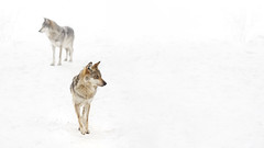The Scouts (Bereno DMD) Tags: winter white snow eye animal composition fur zoo eyes focus wolf connecticut widescreen mexican animalplanet expanse mexicanwolf beardsleyzoo