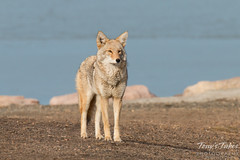Female coyote keeps watch