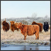 HECK CATTLE (ESOX LUCIUS) Tags: holland cattle taco naturepreserve goereeoverflakkee heckrund heckrunderen heckcattle deslikkenvanflakkee