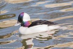 Feathery rainbows (rdroniuk) Tags: birds ducks waterfowl bufflehead waterbirds oiseaux canards bucephalaalbeola buffleheadduck oiseauxdeau buffleheadmale garrotalbéole