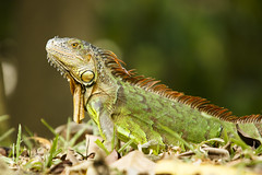 Escapee (fantommst) Tags: park wild green bird singapore wildlife free lizard iguana jurong common singapur escapee invasivespecies herbivorous lisaridings fantommst