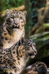 Alles im Blick! (jwfoto1973) Tags: park animal animals deutschland zoo tiere nikon krefeld tierpark snowleopard schneeleopard irbis raubkatzen teleobjektiv d7100 groskatze johannesweyers