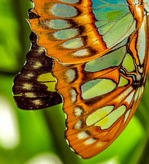 Crafted by angels (10000 wishes) Tags: orange green nature butterfly wings seethrough butterflywings