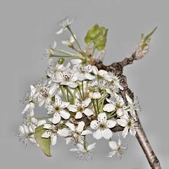 White Blooms Gray Sky (Oliver Leveritt) Tags: flower nature bigma flash bloom speedlight sb800 sigmabigma oliverleverittphotography bigmaos sigma50500mmf4563apodgoshsm nikond7100 sigmabigmaos