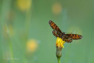 Heath Fritillary (Melitaea athalia, bosparelmoervlinder)