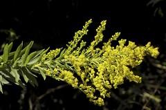 Vaquinhas 2 (Parchen) Tags: flores luz foto natural natureza flor bugs contraste fotografia imagem cacho amarela insetos vaquinha fundopreto registro amarelas vaquinhas parchen carlosparchen
