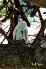 White Tern on egg - SC020102 (rich_downs) Tags: white egg honolulu tern incubating