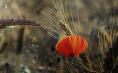 A last Glow (ursulamller900) Tags: mohn getreidefeld poppy red pentacon28100 bokeh