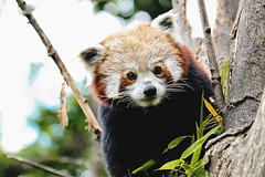 Red Panda (jonathon lynam) Tags: red panda redpanda green whites blacks nikond40 nikon nikonphotography dublin dublinzoo ireland zoo enclosure endangeredspecies crop 6x4 70200mm