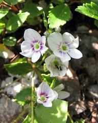 Veronica lyallii (Parahebe lyallii)      [  Vienna University Botanical Garden] ( KHQ Flowers) Tags: veronica  plantaginaceae