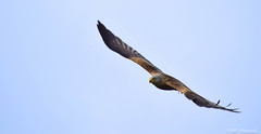 Gliding (mikedenton19) Tags: red kite west bird wings nikon wildlife yorkshire leeds raptor prey gliding bop harewood milvus milvusmilvus of d5300