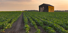 In the fields (SiKenyonImages) Tags: sunset orange field barn farm soil crank leadinglines cauliflowers