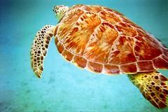 Swimming with Turtles (santanartist) Tags: seaturtle animal ocean caribbean island stjohn usvi outdoor snorkeling