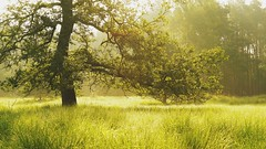 Tree in the morning (Wijnand Kroes Photography) Tags: morning tree grass forrest dew veluwe