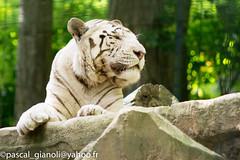 DSC_1899 (Pascal Gianoli) Tags: beauval lion lionne tigre tigreblanc whitetiger zoo zooparc saintaignansurcher centrevaldeloire france fr pascal gianoli pascalgianoli