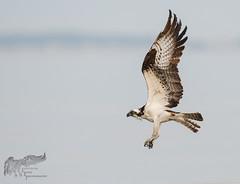 Osprey 7_25 3 (krisinct- Thanks for 12 Million views!) Tags: nikon d500 500 f4 vr g