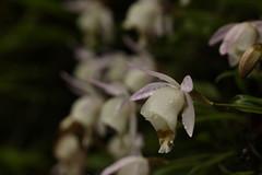 Pleione hookeriana (6) (siddarth.machado) Tags: east lachen northsikkim himalayanflora