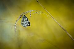 La tangeante (Mathieu Calvet) Tags: blur nature butterfly pentax bokeh 300mm papillon 300 mariposa blured k3 tarnetgaronne occitanie midipyrnes demideuil da300