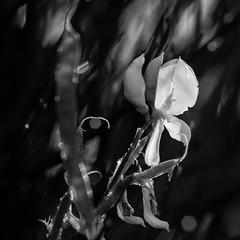 Petite fleur jaune (zventure,) Tags: noiretblanc nice nature noir aube alpesmaritimes bordsduvar buissons blackandwhite bois carr cach couleurs dor extrieur fort fleuve feuilles flore herbes hautelumire jaune lignes monochrome ombre square