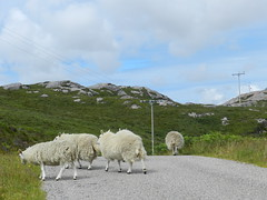 'Ceud Mile Failte' (a hundred thousand welcomes) to North West Sutherland, July 2016 (allanmaciver) Tags: sheep animal welcome highlands scotland sutherland north west remote lonely telegraph pole rugged allanmaciver ceud mile failte hundred thousand welcomes